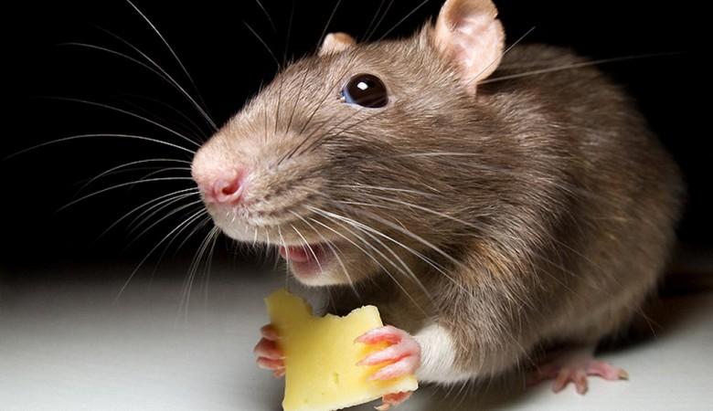 Ученые в Новосибирске довели мышей до аутизма