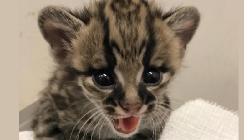 Редкий вид кошек маргай дал потомство в Новосибирском зоопарке