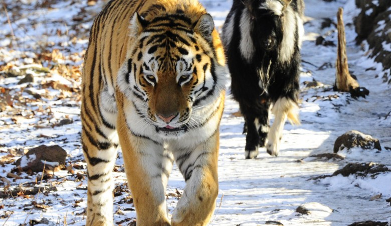 Генпрокуратура занялась козлом Тимуром и тигром Амуром