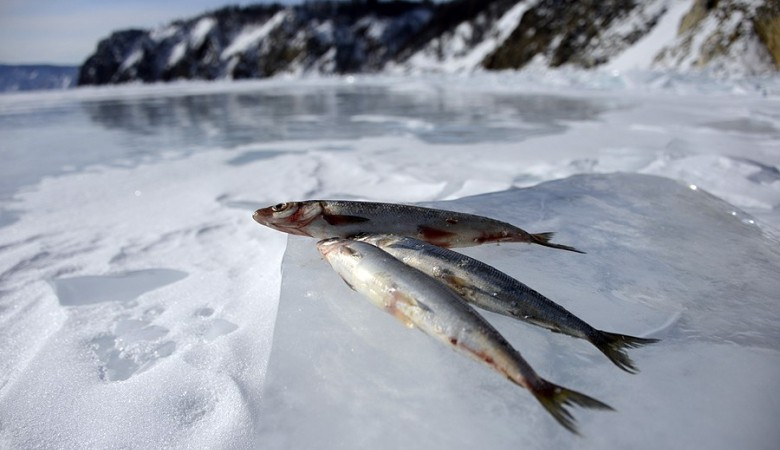 Введение запрета на вылов омуля в озере Байкал ожидается в начале 2018 года
