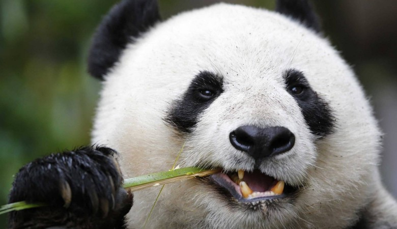 Китай отправил двух панд в Индонезию в рамках