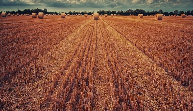 Ученые в Сибири вывели устойчивый яровой сорт - гибрид ржи и пшеницы