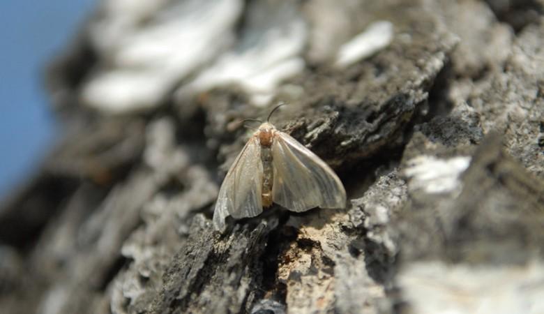 Летом 2017г размножение шелкопряда может достигнуть пика— Ученые ТГУ