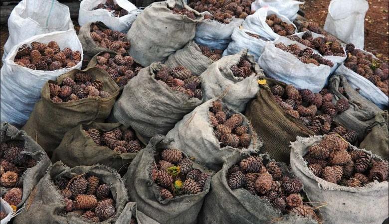 Власти Тувы помогут жителям республики заработать на хорошем урожае орехов