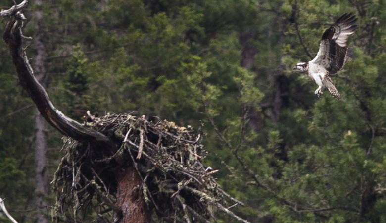 Орнитологи отследят миграцию скоп в Саяно-Шушенском заповеднике в режиме реального времени