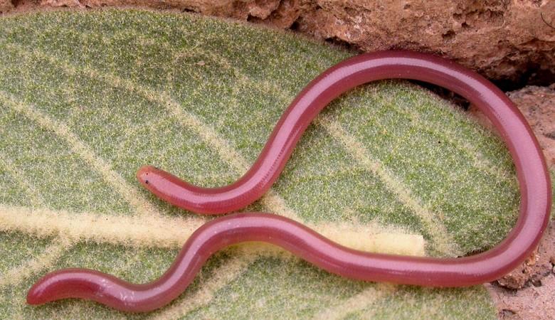 Томские ученые предлагают россиянам питаться дождевыми червями