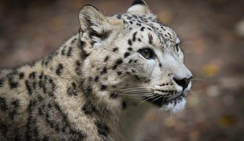 В Республике Алтай предлагают закрыть охоту на козерогов ради снежных барсов