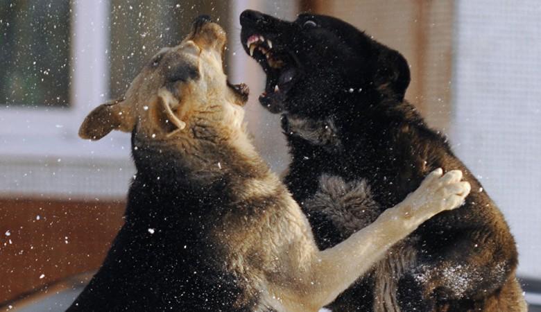 Стая бродячих собаки напала на трех жителей хакасского Черногорска - СКР
