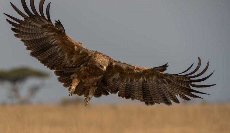 Орнитологи окольцуют степных орлов на Алтае