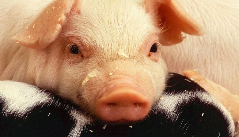 В Китае – дефицит свинины, власти продадут 10 тыс. тонн из своих запасов