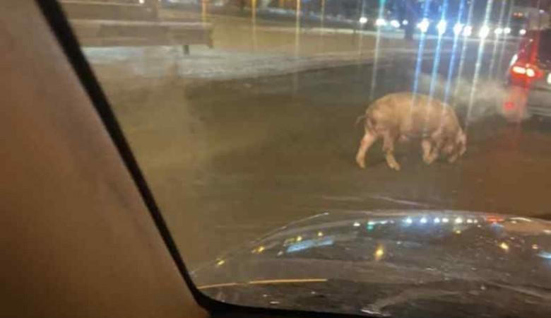 В центре Новосибирске бегала свинья