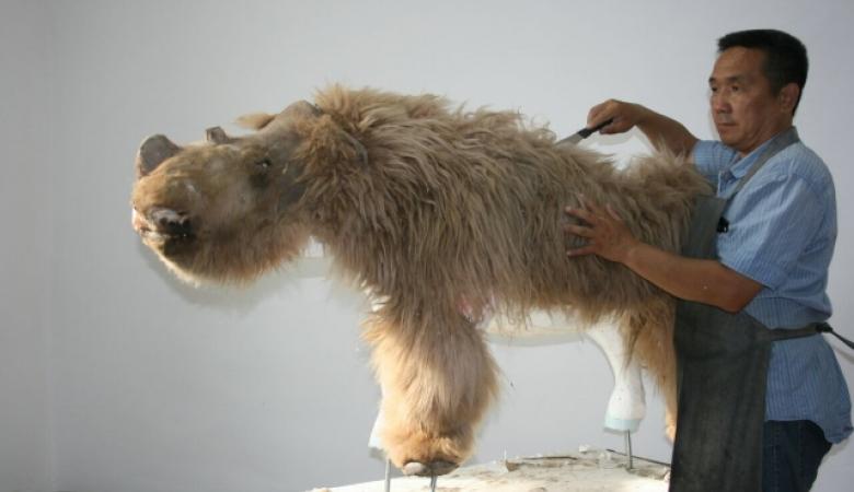 Шерстистый носорог Саша — что рассказала уникальная находка палеонтологам