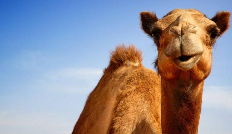 Иркутские пожарные и полиция спасли верблюда Славика, угодившего в автоаварию в 50-градусный мороз