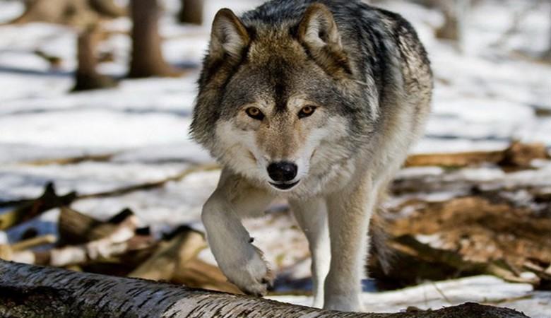 В Бурятии обнаглевшие волки охотятся в деревнях
