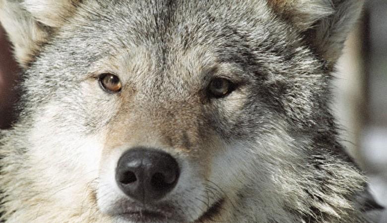 Житель Алтайского края задавил насмерть волка снегоходом и снял об этом видеоролик
