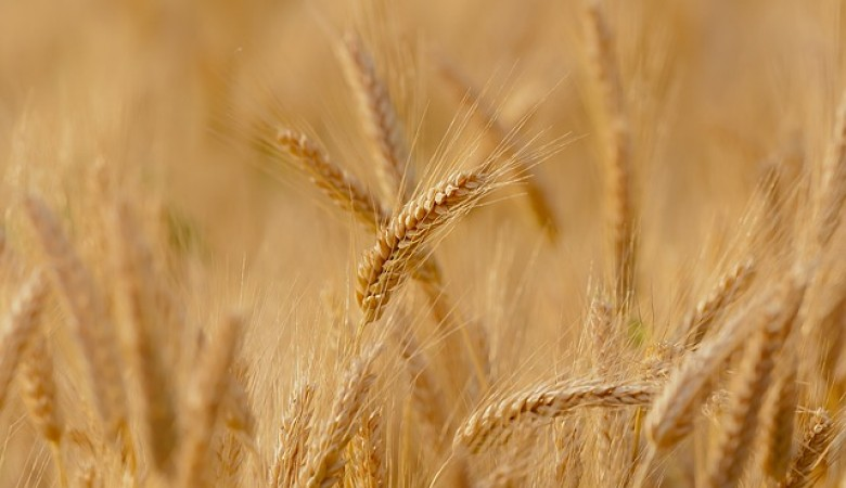Три миллиона тонн зерна получили аграрии Алтайского края
