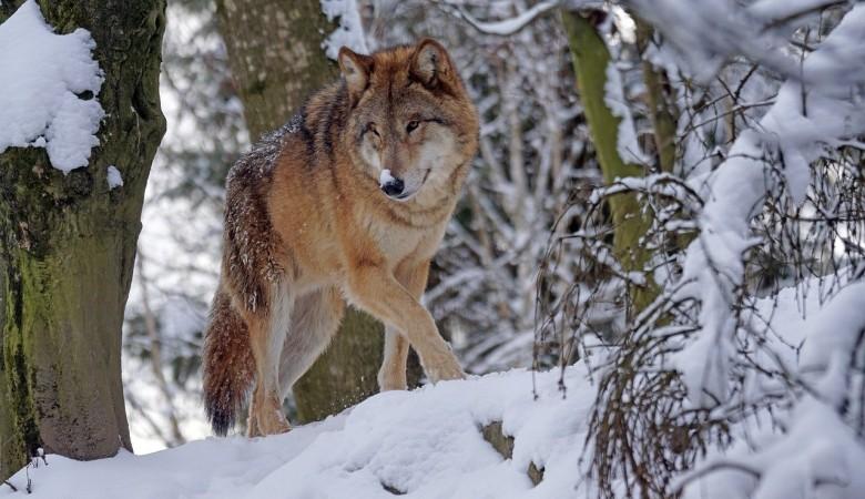 Эксперимент по использованию спутниковых ошейников для отслеживания волков начнется в Туве