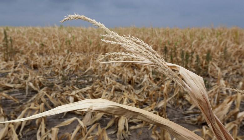 Засуха уничтожила вЗабайкалье больше трети урожая