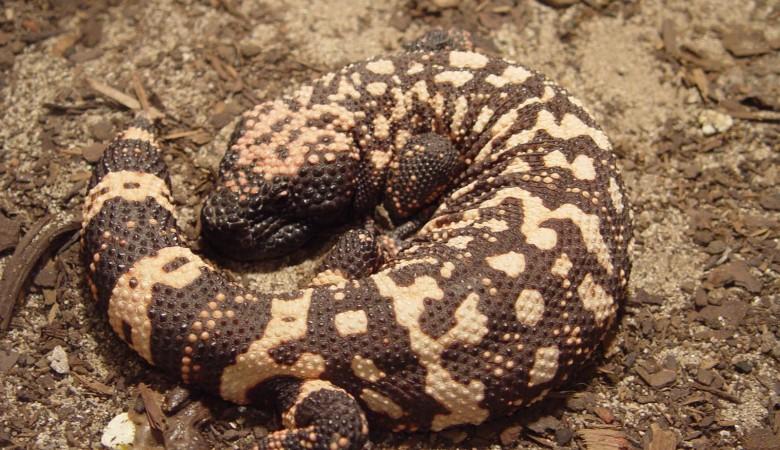 Зоопарк Новосибирска получил в коллекцию ядовитую ящерицу жилатье
