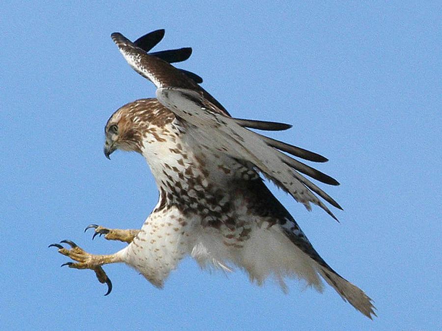 хищные птицы ленинградской области фото