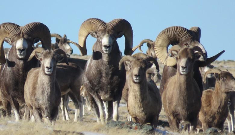 На Алтае и Туве начался учет краснокнижного горного барана