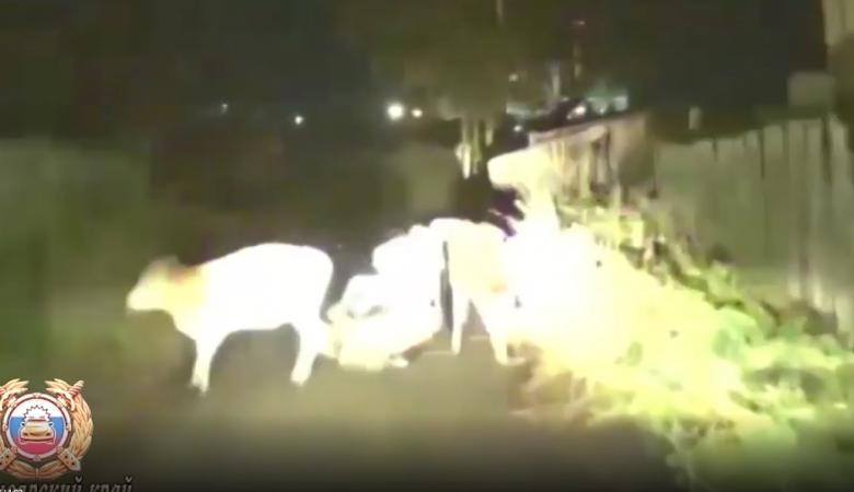 Пьяный байкер на мопеде уходил от наряда ДПС, но был остановлен коровами