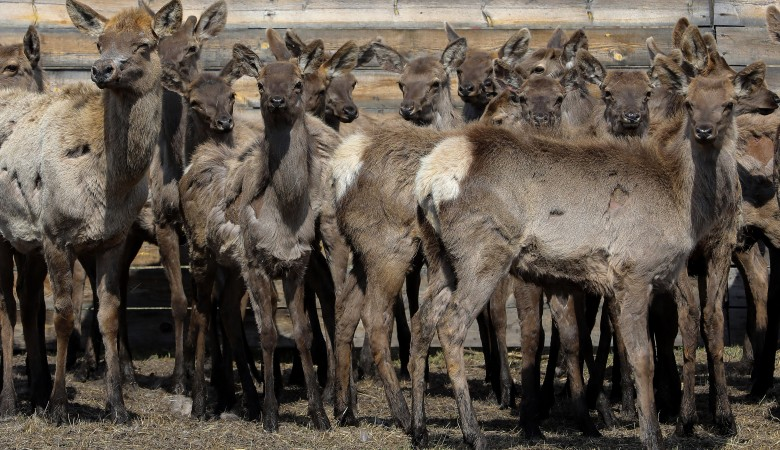 В Красноярском крае в дикую природу выпустили 50 маралов