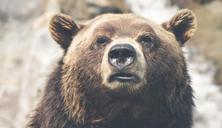 Красноярский полицейский пристрелил медведя, терроризировавшего жителей села