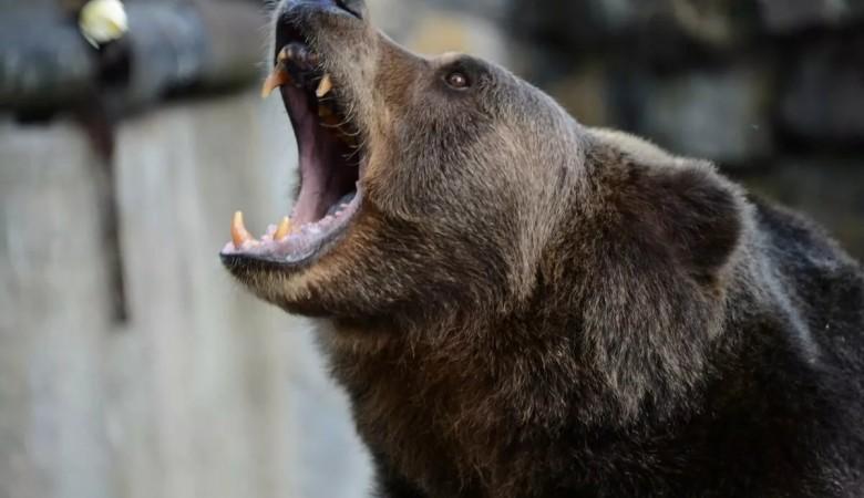 Омск окружают медведи, человека они уже совсем не боятся
